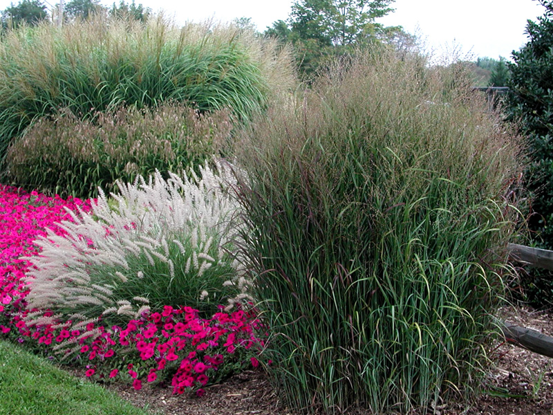When To Plant Ornamental Grass Bucks country gardens the many ornamental grasses in my yard are a winter favorite as the brown blades and flowers stand tall above even the deepest snow and provide movement and workwithnaturefo