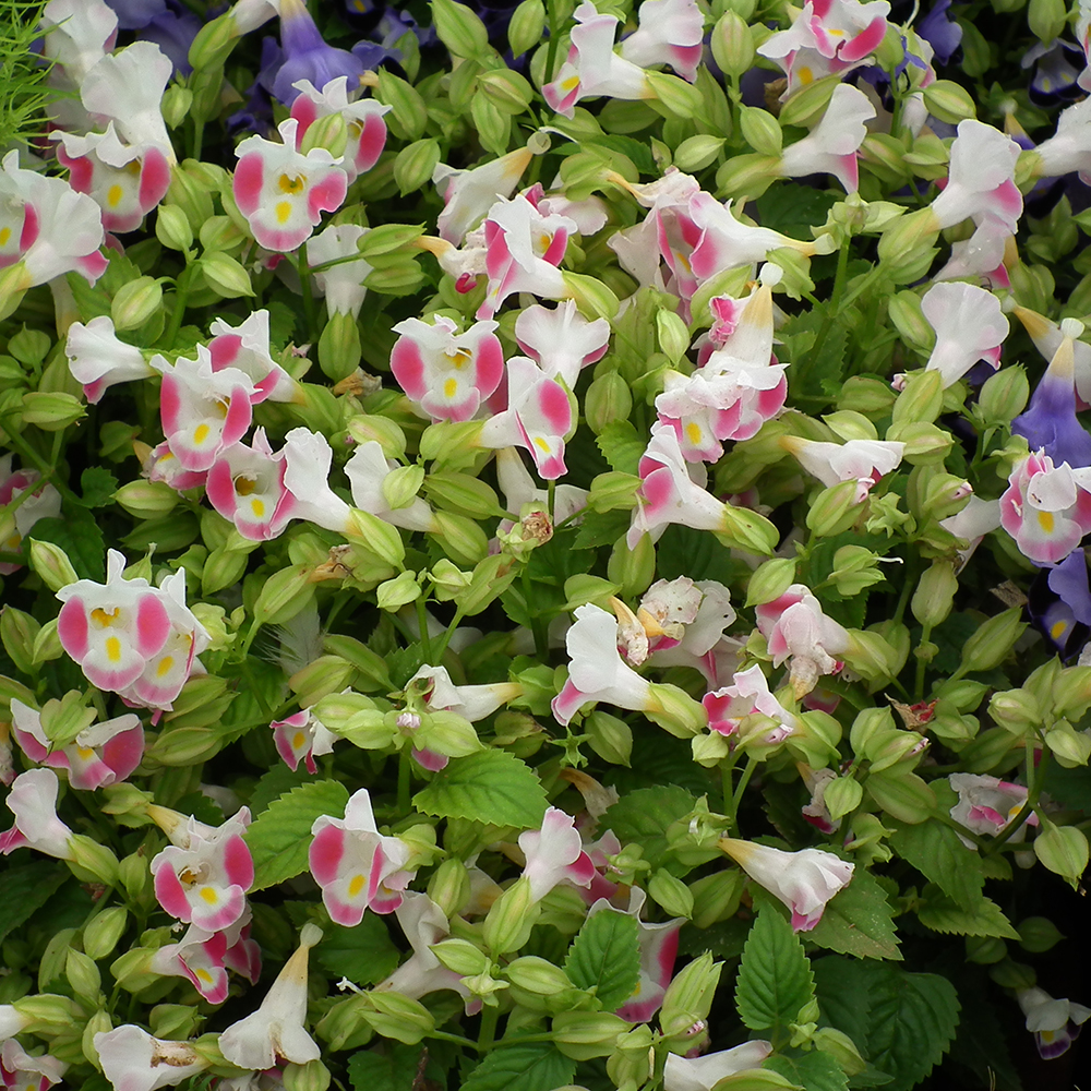 Bucks country gardens torenia blooms resemble an open faced snapdragon flower that grows evenly with clusters of blooms izmirmasajfo