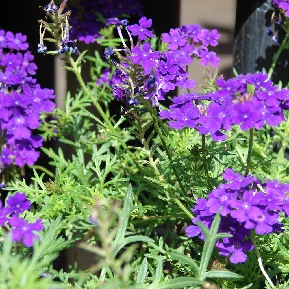 Bucks country gardens verbena is an herbaceous flowering plant that comes in many different colors izmirmasajfo